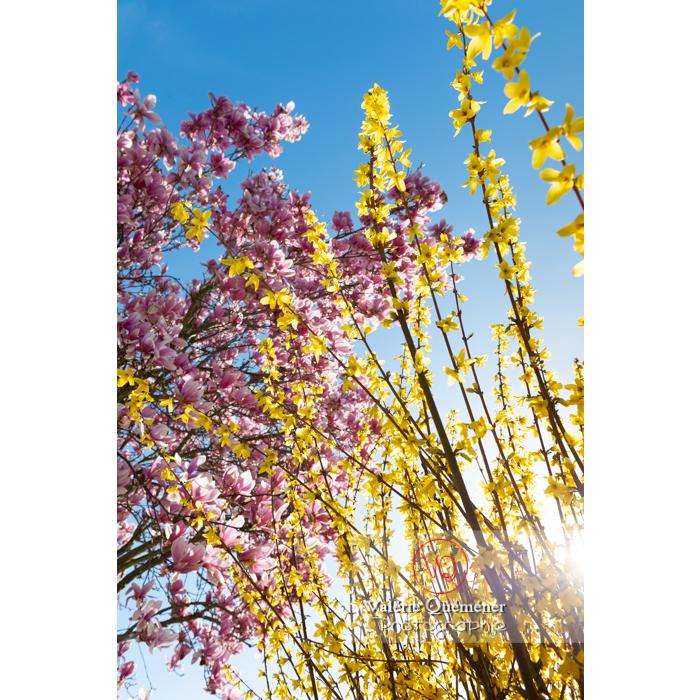 Forsythia en fleur et magnolia à fleurs roses - Réf : VQF&J-9566 (Q3)