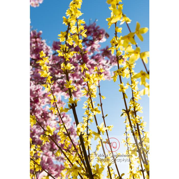 Forsythia en fleurs et magnolia aux fleurs roses - Réf : VQF&J-9567 (Q3)