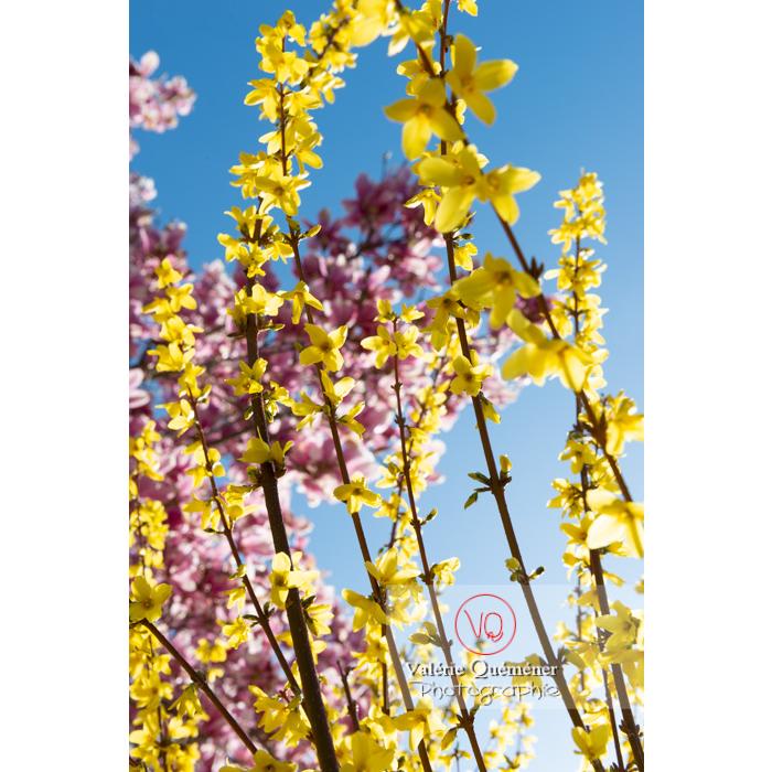 Forsythia en fleurs - Réf : VQF&J-9568 (Q3)