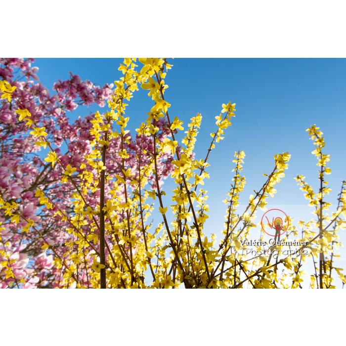Forsythia en fleurs et magnolia aux fleurs roses - Réf : VQF&J-9569 (Q3)