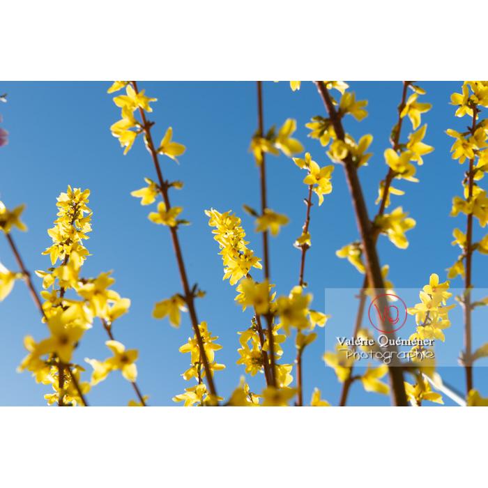 Forsythia en fleurs - Réf : VQF&J-9573 (Q3)