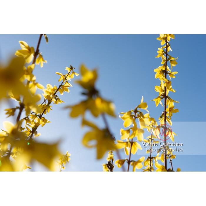 Forsythia en fleurs - Réf : VQF&J-9574 (Q3)
