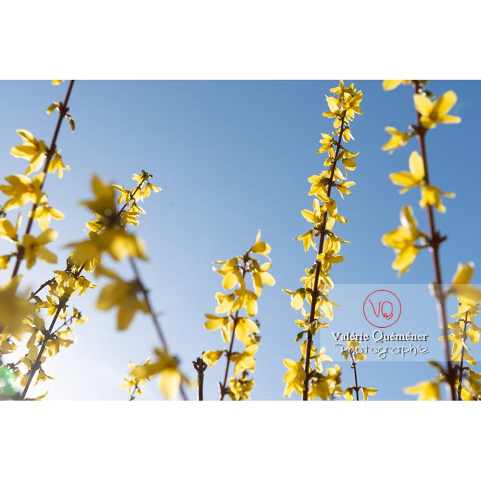 Forsythia en fleurs - Réf : VQF&J-9575 (Q3)