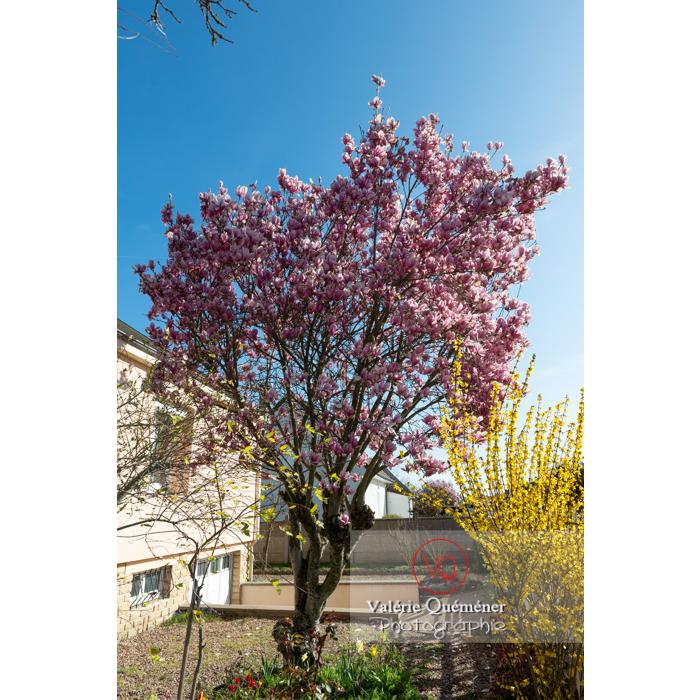 Magnolia en fleurs de couleur rose - Réf : VQF&J-9576 (Q3)