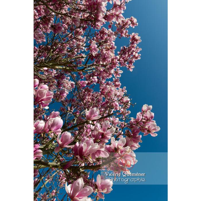Fleurs roses d'un magnolia vue en contre-plongée sur fond de ciel bleu - Réf : VQF&J-9577 (Q3)