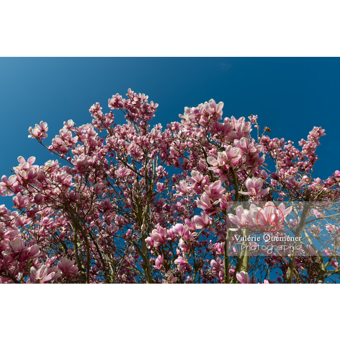 Fleurs roses de magnolia - Réf : VQF&J-9578 (Q3)