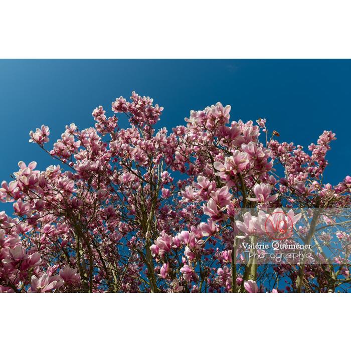 Fleurs roses d'un magnolia vue en contre-plongée sur fond de ciel bleu - Réf : VQF&J-9578 (Q3)