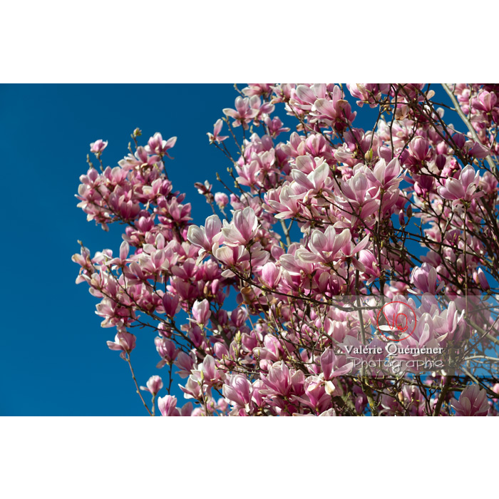 Fleurs roses de magnolia - Réf : VQF&J-9580 (Q3)