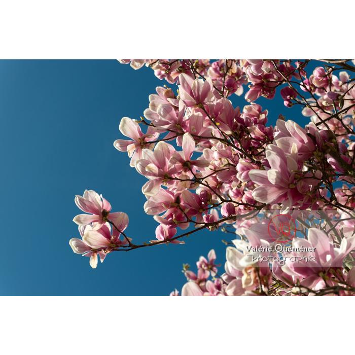 Fleurs roses de magnolia sur fond de ciel bleu - Réf : VQF&J-9582 (Q3)