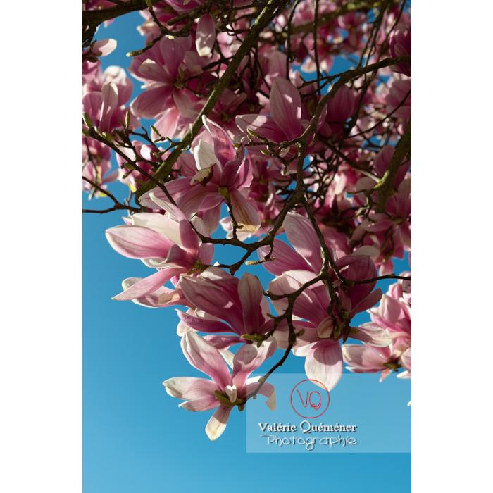 Fleurs roses de magnolia sur fond de ciel bleu - Réf : VQF&J-9584 (Q3)