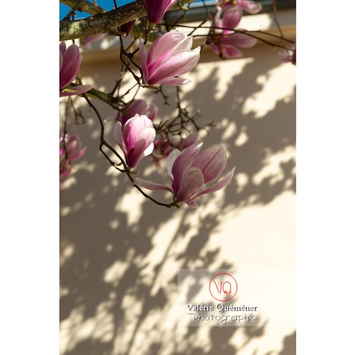 Fleurs roses de magnolia sur fond blanc avec ombres - Réf : VQF&J-9585 (Q3)
