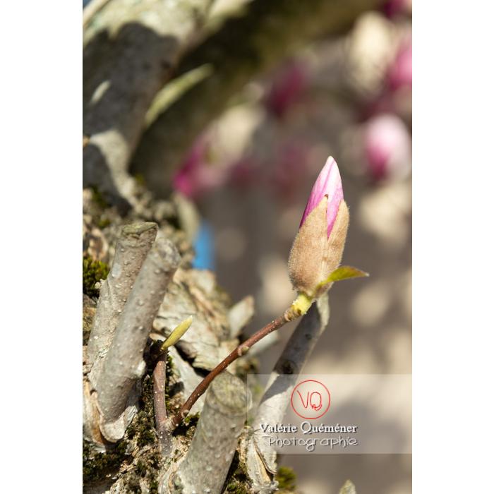 Bouton de fleur rose de magnolia - Réf : VQF&J-9586 (Q3)