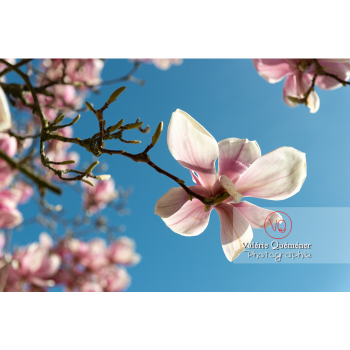 Fleurs roses de magnolia - Réf : VQF&J-9588 (Q3)