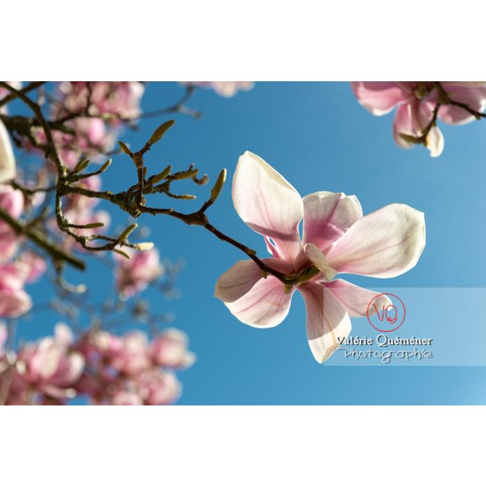 Fleur rose d'un magnolia vue en contre-plongée sur fond de ciel bleu - Réf : VQF&J-9588 (Q3)