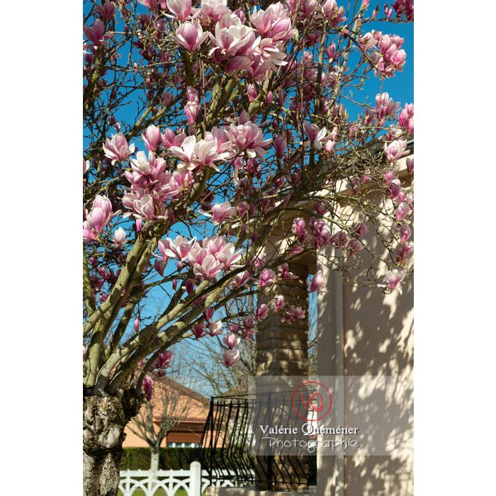 Branches de fleurs roses de magnolia - Réf : VQF&J-9590 (Q3)