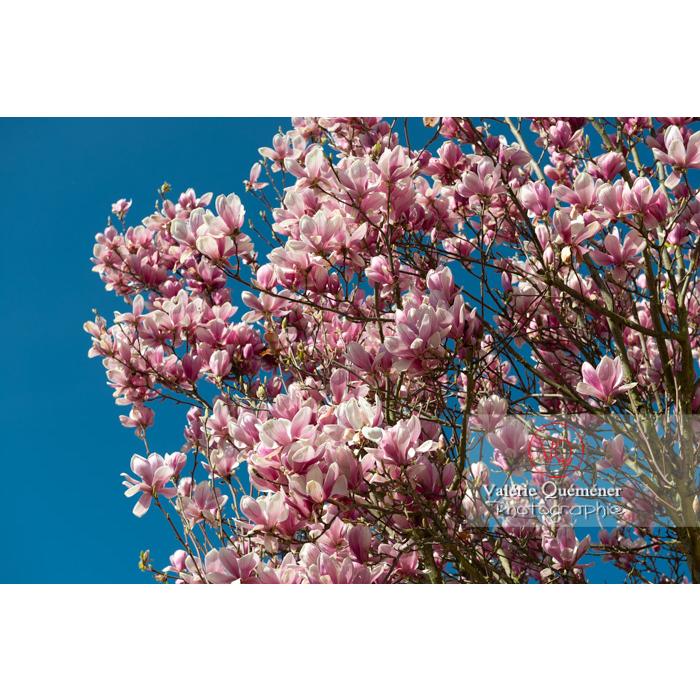 Grappe de fleurs roses de magnolia sur fond de ciel bleu - Réf : VQF&J-9592 (Q3)