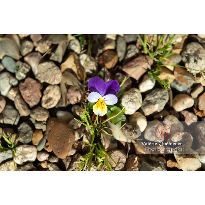 Pensée sauvage (viola tricolor) dans le gravier - Réf : VQF&J-9593 (Q3)