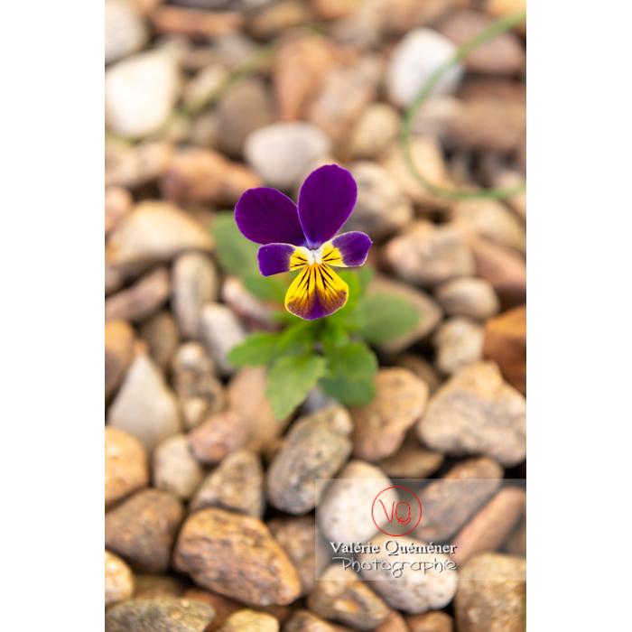 Pensée sauvage (viola tricolor) dans le gravier - Réf : VQF&J-9599 (Q3)