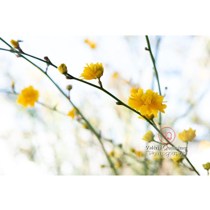 Fleurs jaunes du Corète du Japon (Kerria Japonica) - Réf : VQF&J-9601 (Q3)
