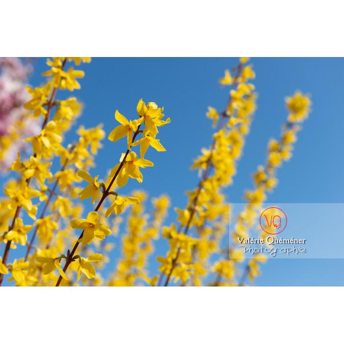 Forsythia en fleurs - Réf : VQF&J-9603 (Q3)