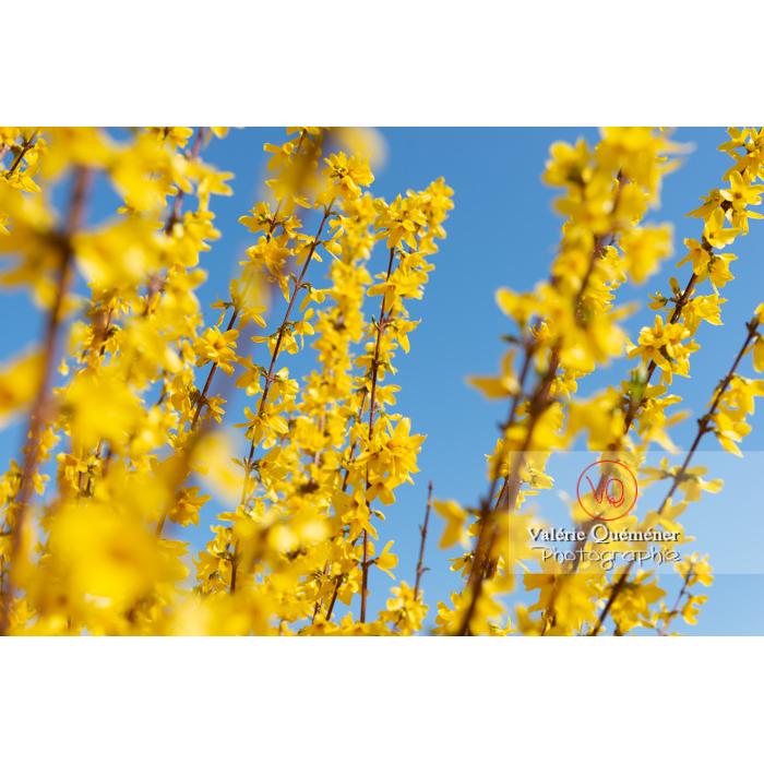 Forsythia en fleurs - Réf : VQF&J-9604 (Q3)