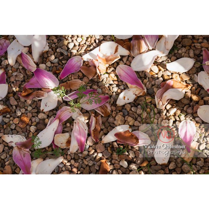 Pétales de fleurs roses de magnolia au sol - Réf : VQF&J-9605 (Q3)
