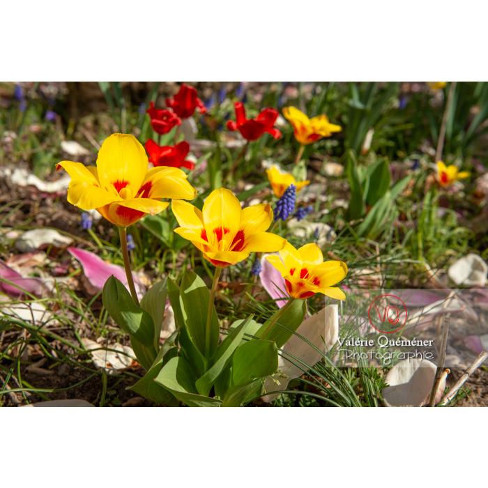Tulipes jaune et rouge - Réf : VQF&J-9607 (Q3)