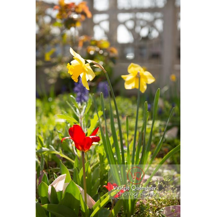 Fleurs de jonquille - Réf : VQF&J-9611 (Q3)