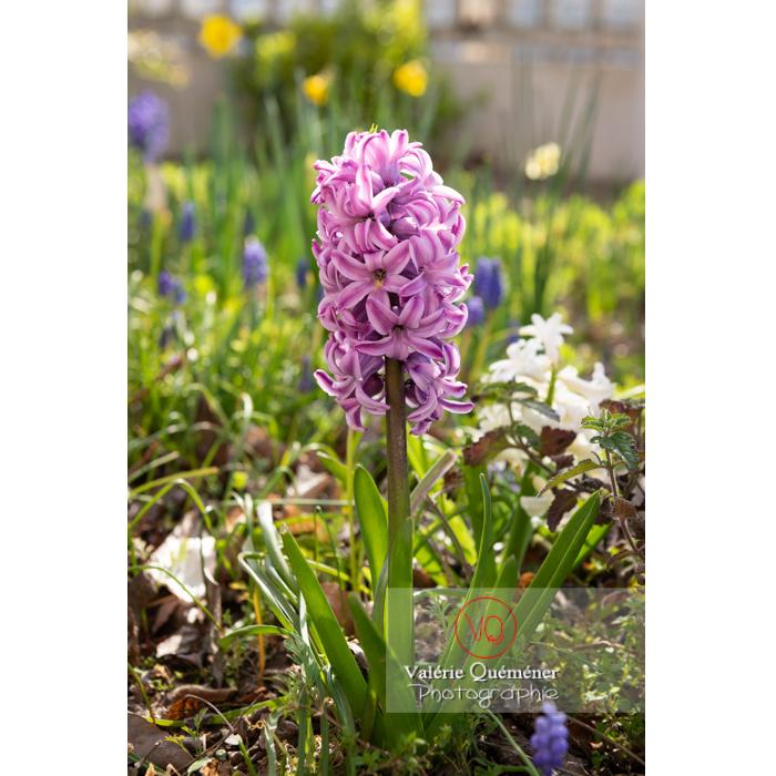 Fleur de jacinthe violette - Réf : VQF&J-9613 (Q3)