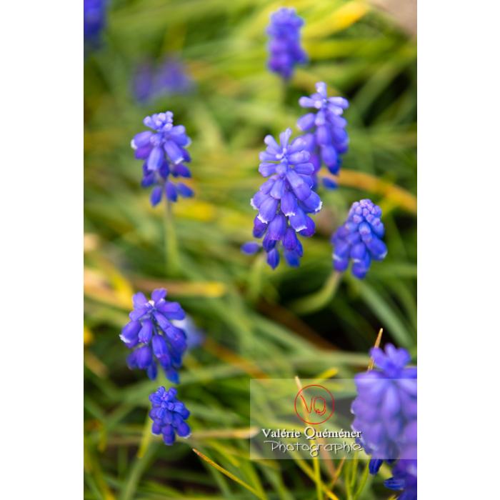 Fleurs de muscari - Réf : VQF&J-9616 (Q1)
