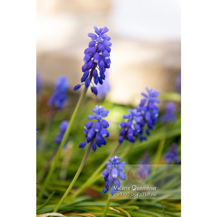 Fleurs de muscari - Réf : VQF&J-9617 (Q1)