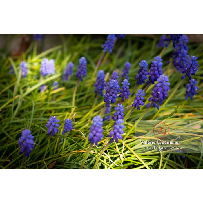 Fleurs de muscari - Réf : VQF&J-9621 (Q1)