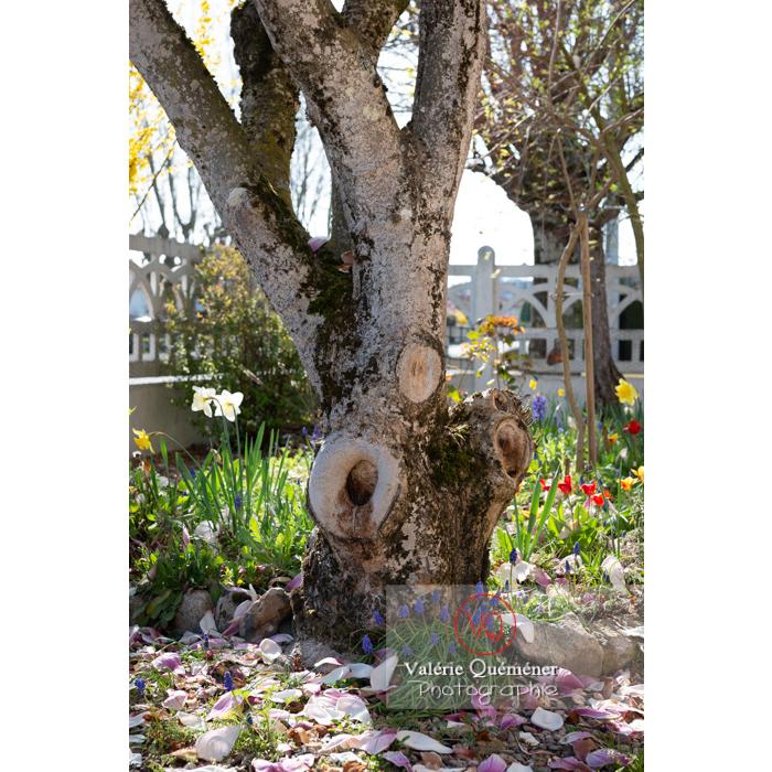 Tronc taillé de magnolia en fleurs - Réf : VQF&J-9625 (Q3)