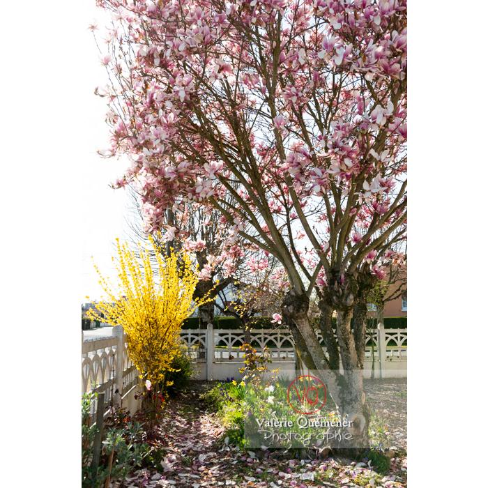 Magnolia et genêt en fleurs - Réf : VQF&J-9626 (Q3)
