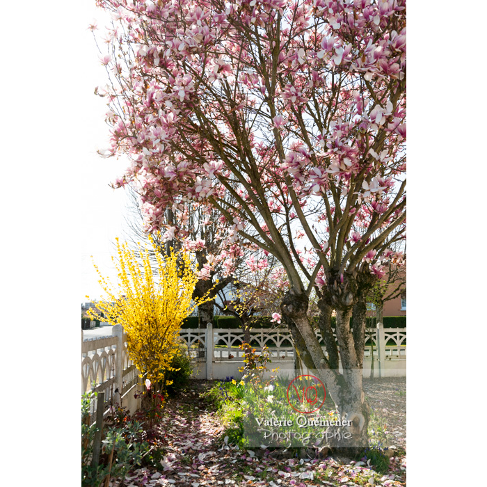 Magnolia en fleurs de couleur rose - Réf : VQF&J-9626 (Q3)