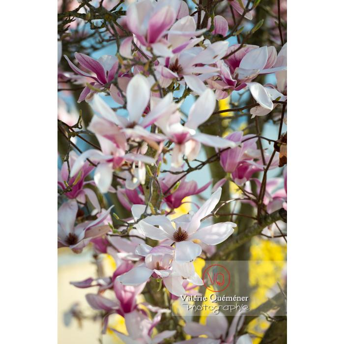 Fleurs roses de magnolia épanouies - Réf : VQF&J-9630 (Q3)