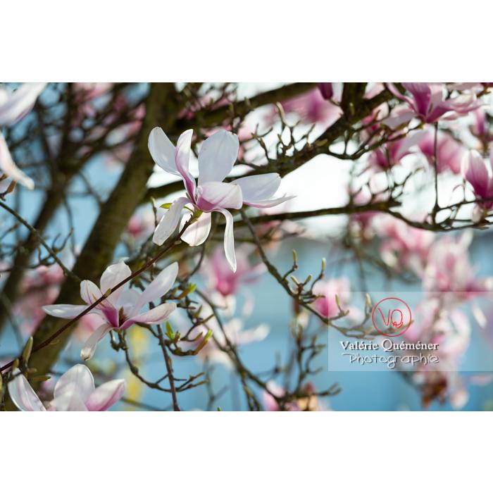 Fleurs roses de magnolia épanouies - Réf : VQF&J-9632 (Q3)