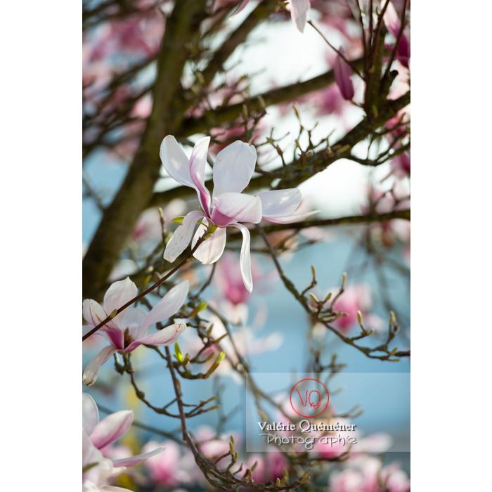 Fleurs roses de magnolia - Réf : VQF&J-9636 (Q3)
