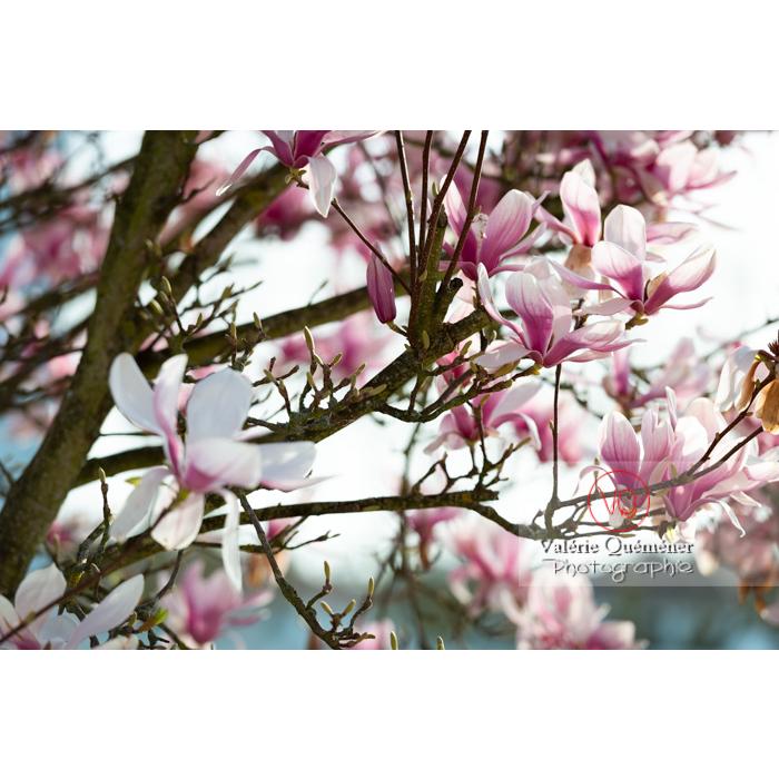 Fleurs roses de magnolia - Réf : VQF&J-9637 (Q3)