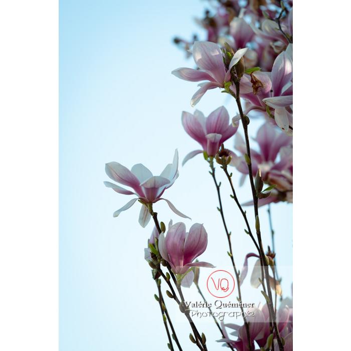 Fleurs roses de magnolia sur fond de ciel - Réf : VQF&J-9639 (Q3)