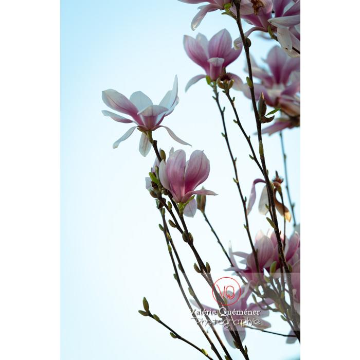 Fleurs roses de magnolia au bout de la tige - Réf : VQF&J-9640 (Q3)
