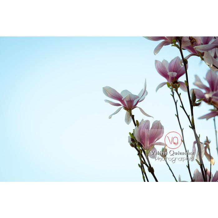 Branches de fleurs roses de magnolia sur fond de ciel - Réf : VQF&J-9643 (Q3)
