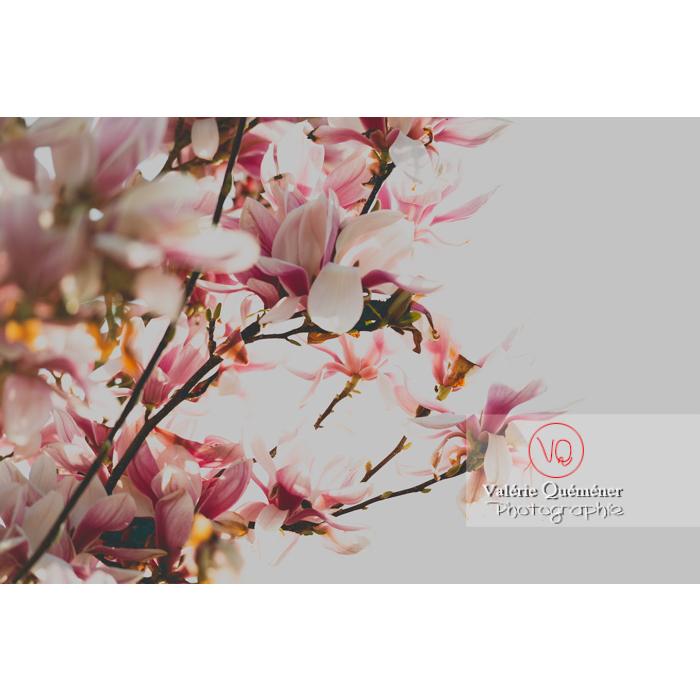 Fleurs roses de magnolia épanouies - Réf : VQF&J-9644 (Q3)