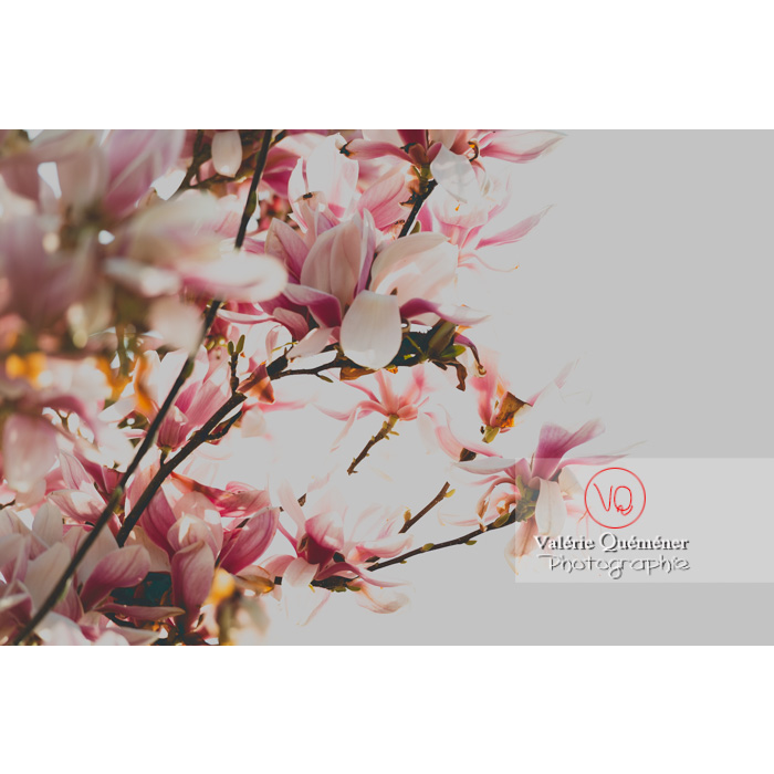 Fleurs roses de magnolia - Réf : VQF&J-9644 (Q3)