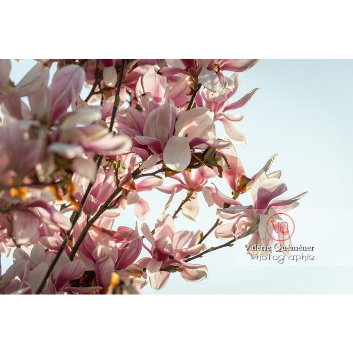 Fleurs roses de magnolia épanouies - Réf : VQF&J-9645 (Q3)