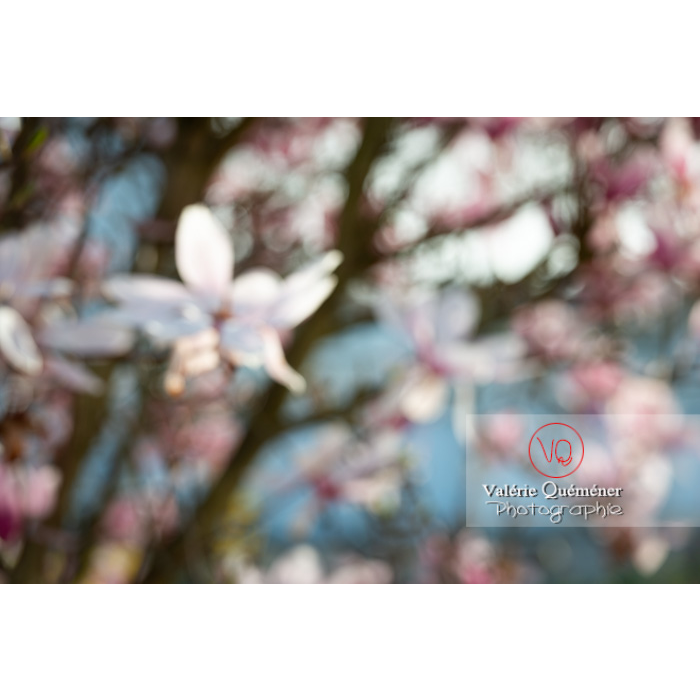 Fleurs de magnolia floues - Réf : VQF&J-9647 (Q3)