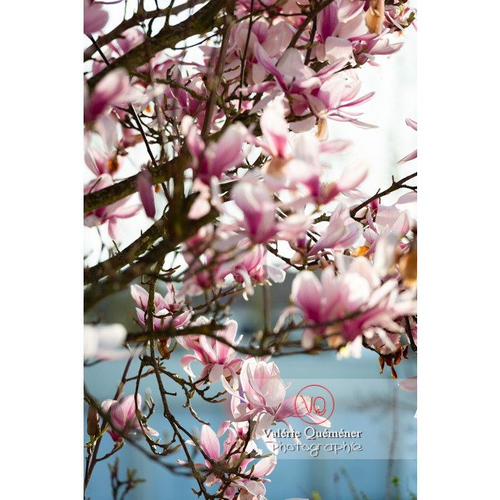 Fleurs roses de magnolia - Réf : VQF&J-9648 (Q3)