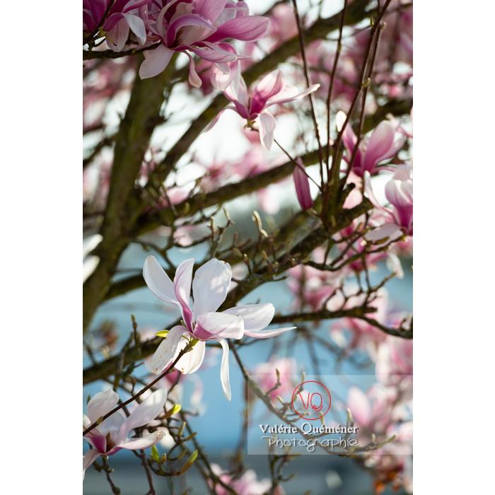 Fleurs roses de magnolia - Réf : VQF&J-9651 (Q3)