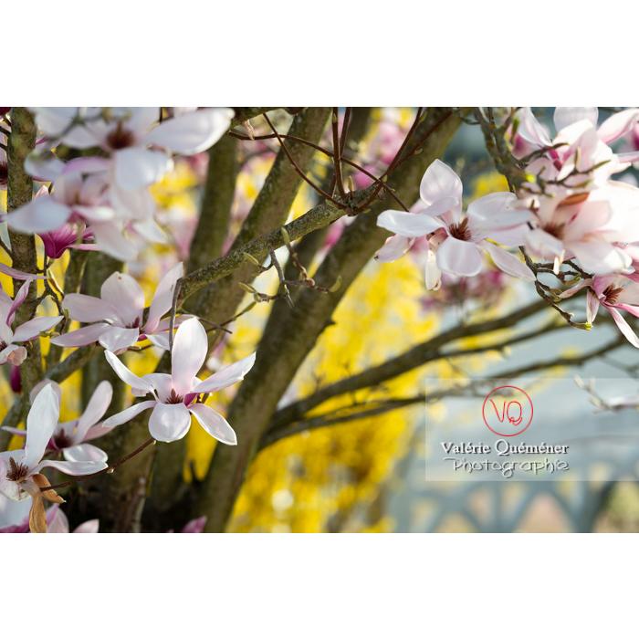 Fleurs roses de magnolia épanouies - Réf : VQF&J-9657 (Q3)