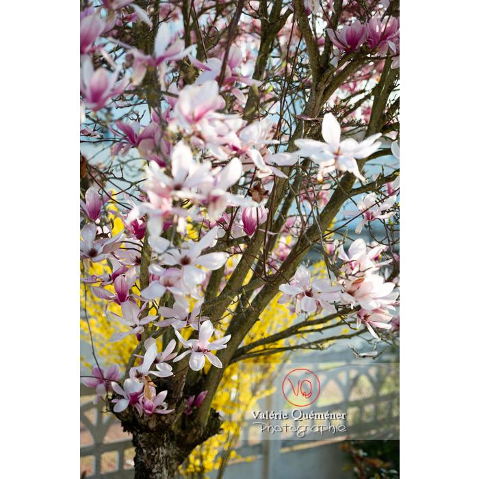 Magnolia aux fleurs roses épanouies - Réf : VQF&J-9659 (Q3)